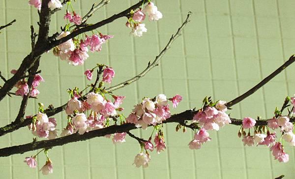 夜間拍的櫻花.jpg