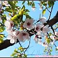 36_39_中島公園的櫻花.jpg