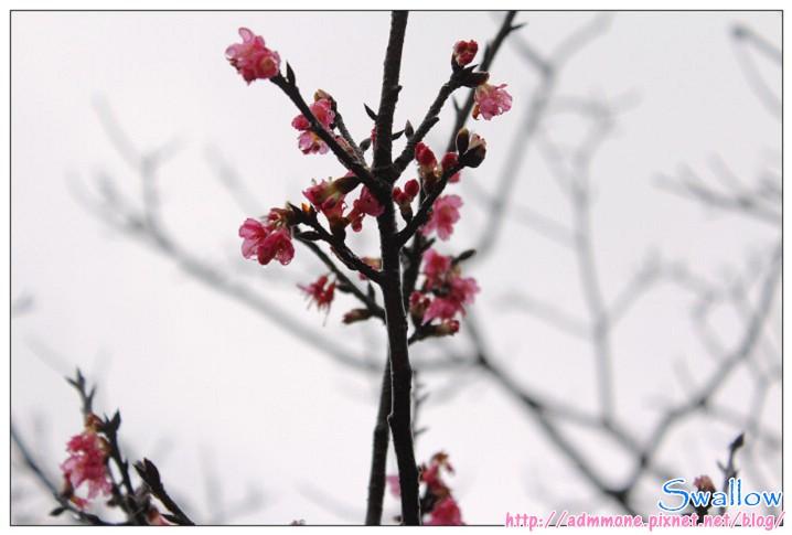 00_雨中綻放的櫻花.jpg