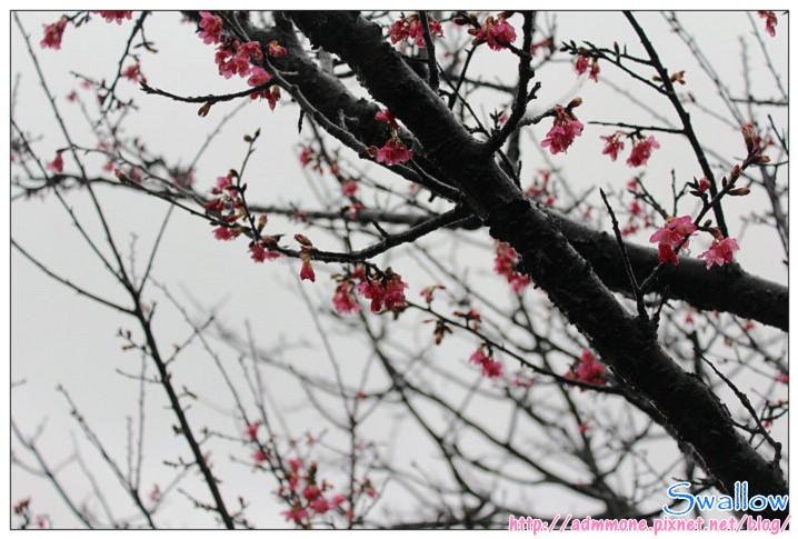 12_雨中的櫻花.jpg