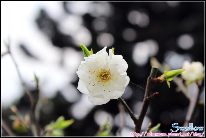 36_宮粉梅