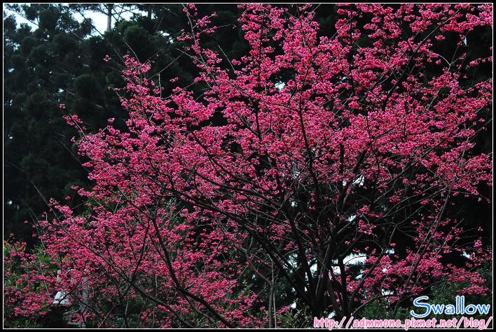 40_山櫻花