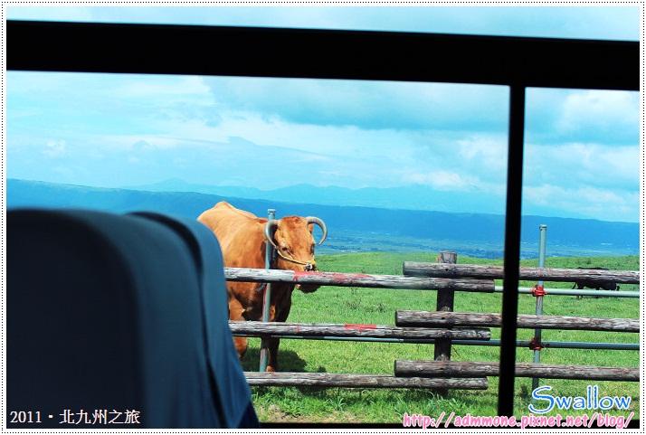 20_20_阿蘇山上的牛群
