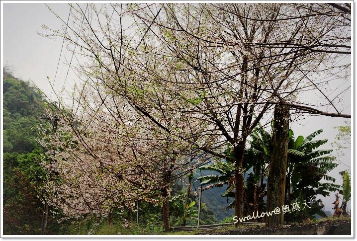 05_14_整排霧社櫻