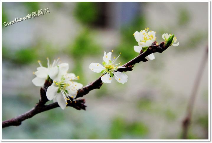 05_18_李花