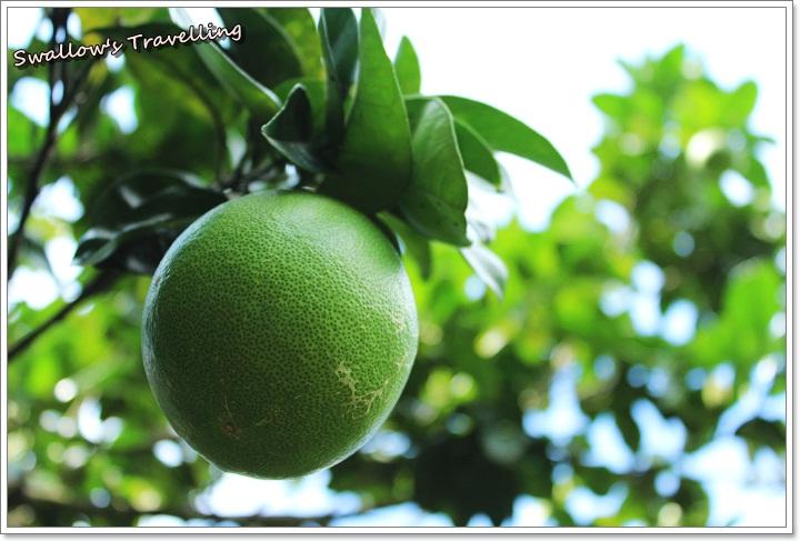 10_未熟柚子