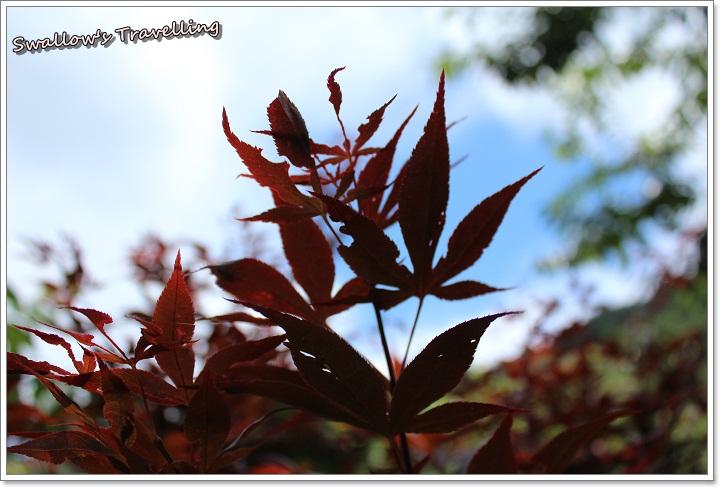 13_楓葉