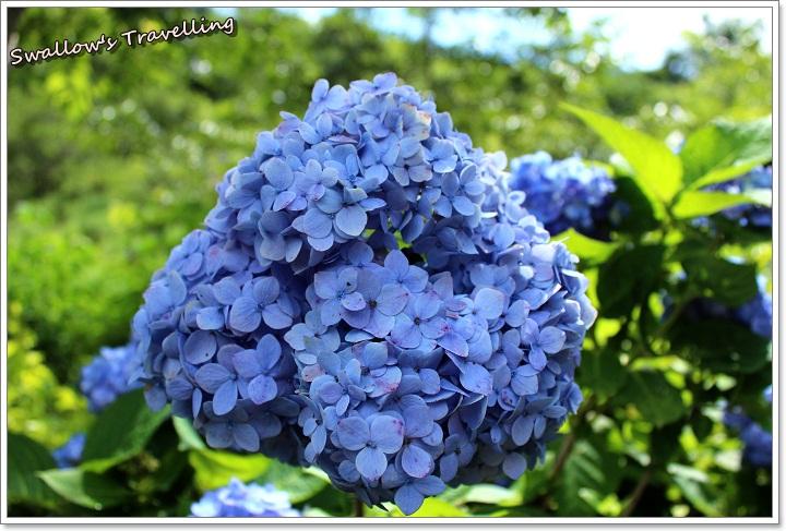 20_繡球花