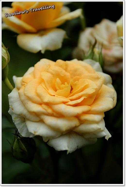 31_玫瑰