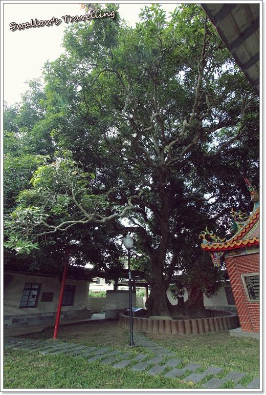 14_400年芒果樹