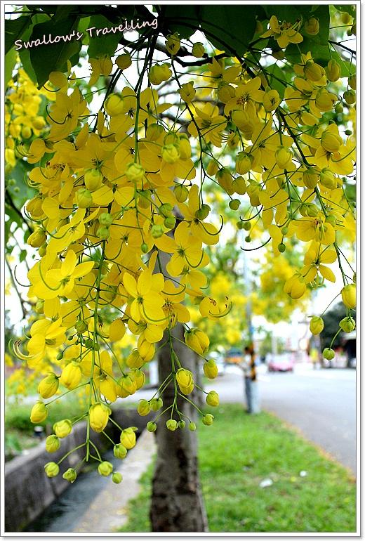 08_黃金小鎮-阿勃勒花