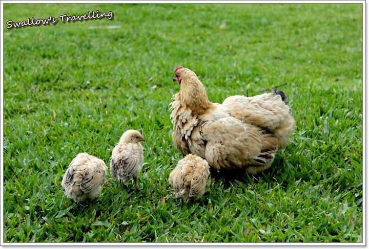 05_母雞帶小雞