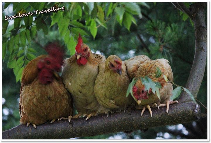 08_嘰嘰喳喳的雞群