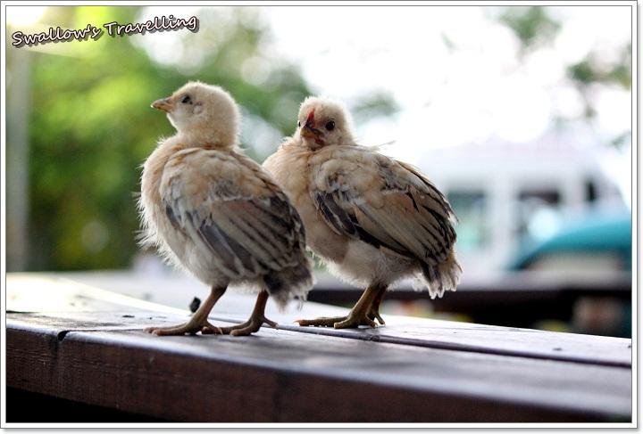 09_小雞們