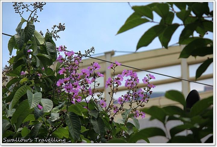 01_萬板橋下的大花紫薇