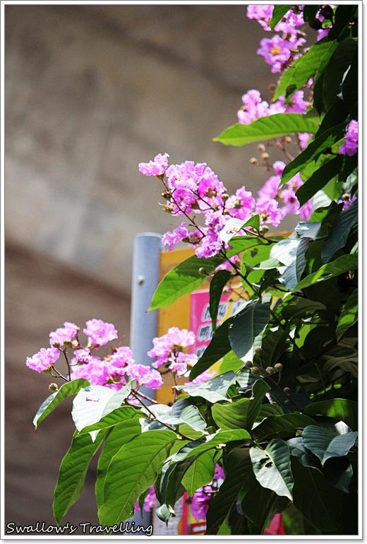08_大花紫薇