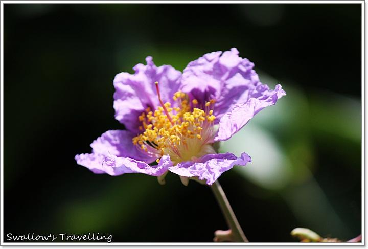 12_近拍大花紫薇