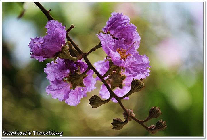 15_微粉紅的大花紫薇