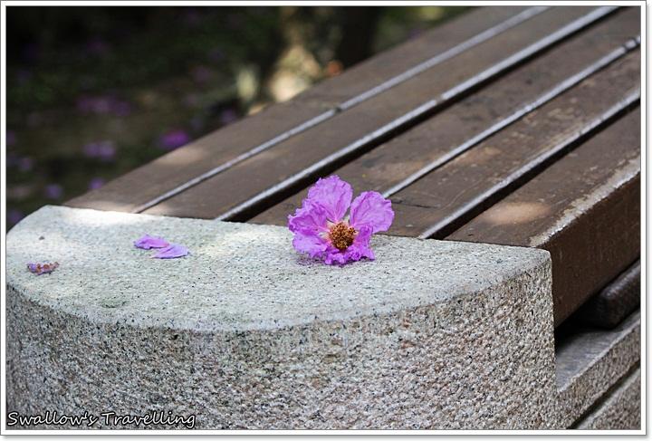 18_緩緩飄落的大花紫薇