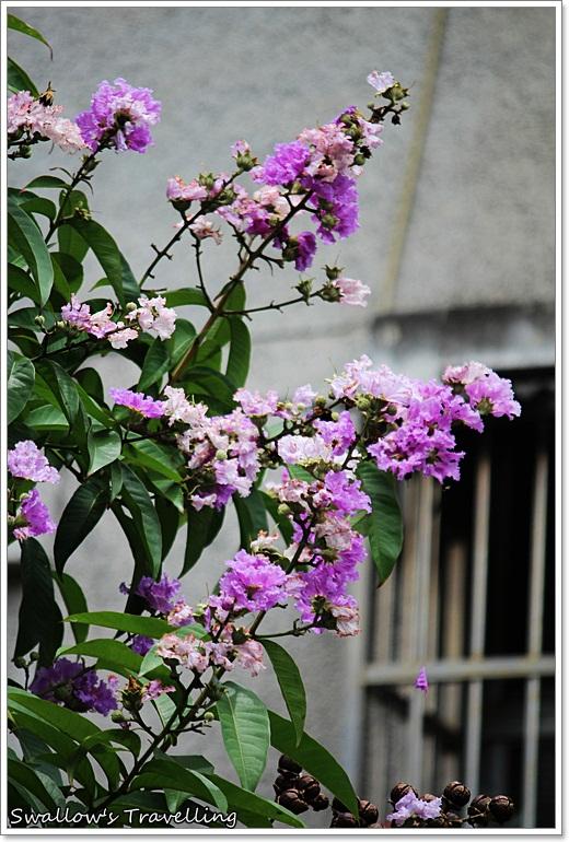 28_白色的大花紫薇