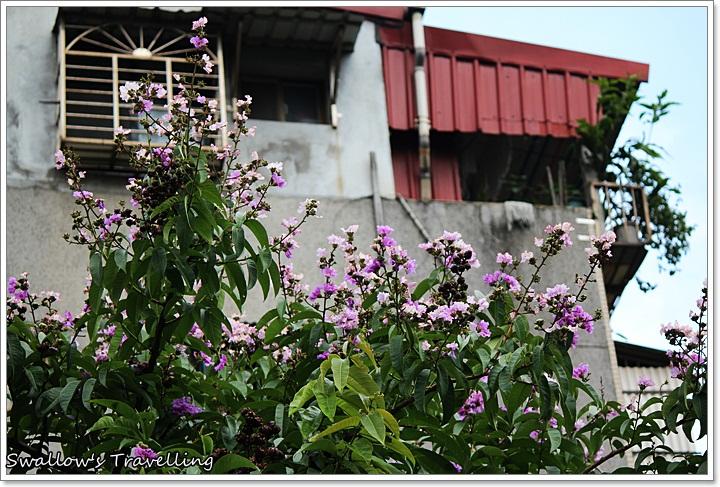 29_白色的大花紫薇