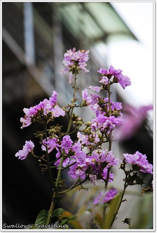30_大花紫薇