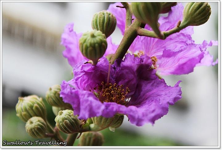 32_大花紫薇