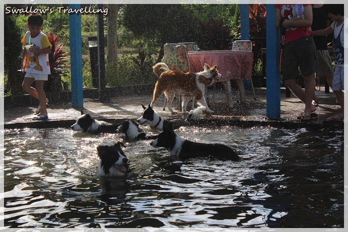 20_一群牧羊犬戲水