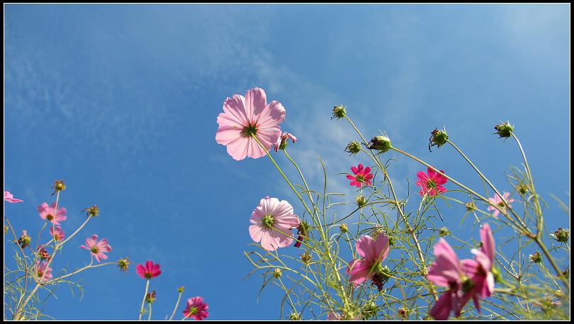 08_藍天下的大波斯菊