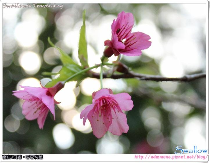 45_遊園路線_綻放的櫻花