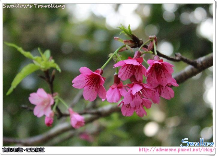 47_遊園路線_綻放的櫻花