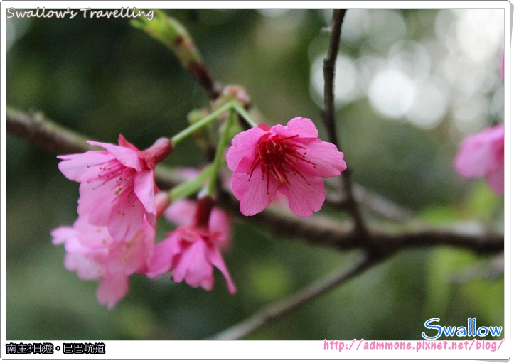 46_遊園路線_綻放的櫻花