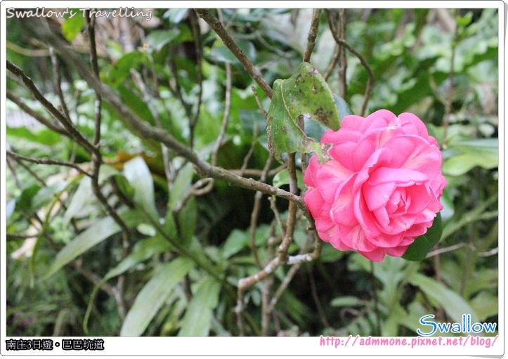 88_入園廣場_鮮豔欲滴的山茶花