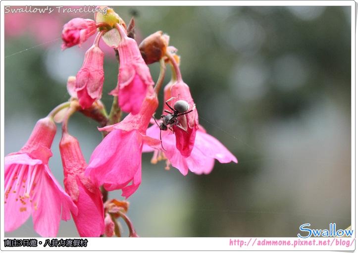 22_櫻花+螞蟻