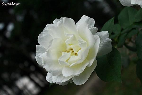 22_中正紀念堂_白玫瑰