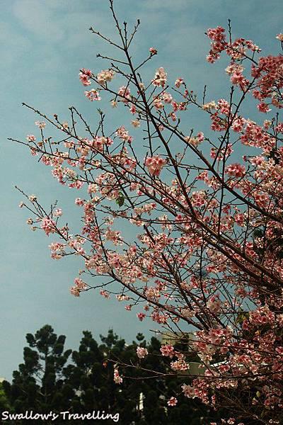 05_藍天與櫻