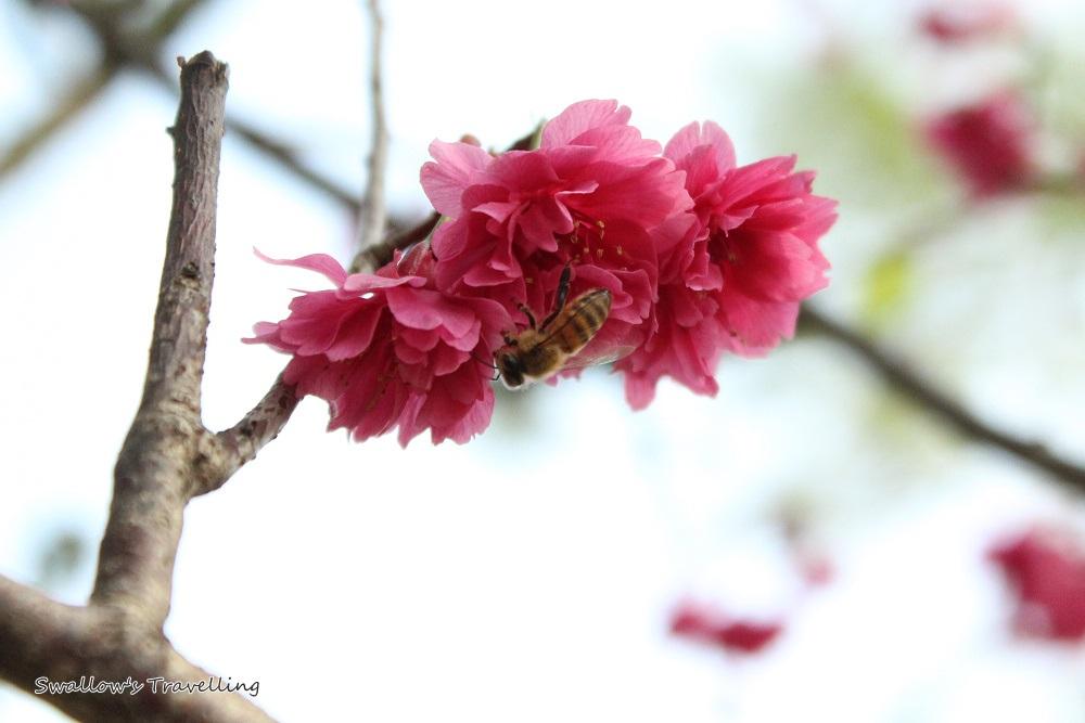 16_櫻花