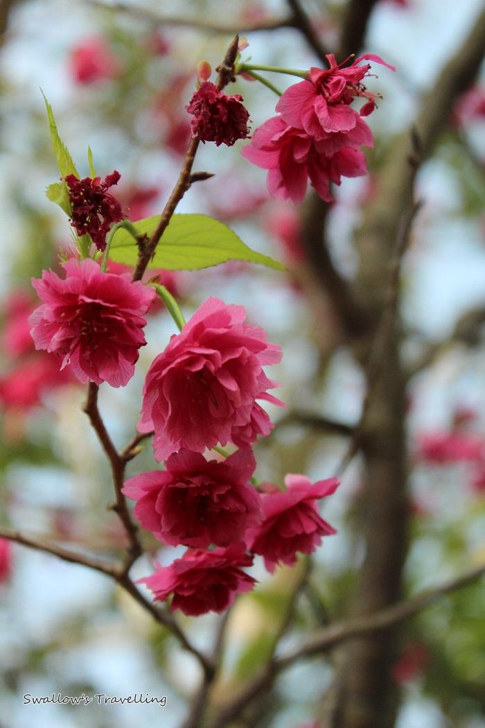 17_櫻花