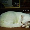 28_澳洲牛奶公司隔壁的白貓.jpg