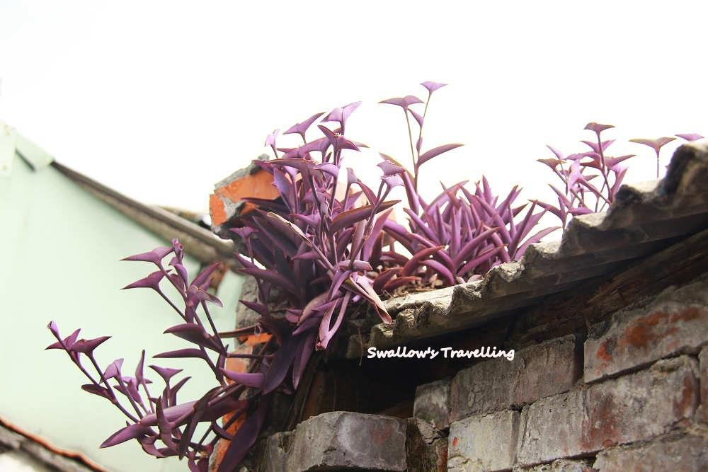 20_屋瓦上的耐旱植物.jpg