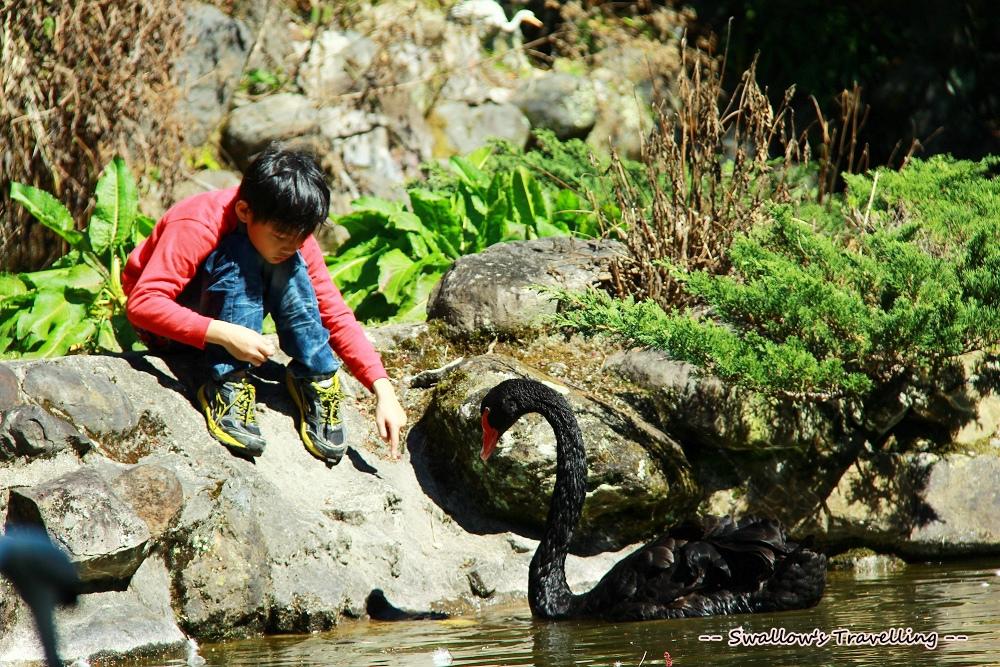 48_黑天鵝.jpg