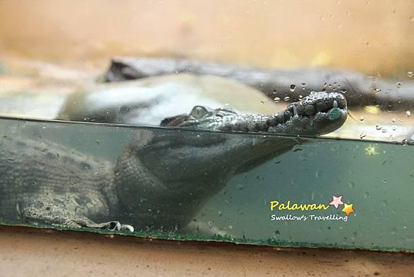 19_鱷魚.jpg