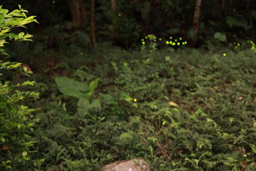 150422和美山螢火蟲1.jpg