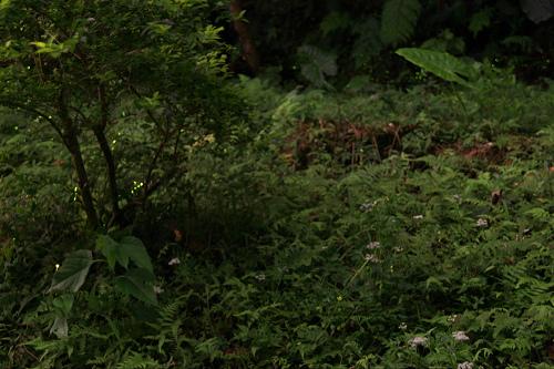 150422和美山螢火蟲2.jpg