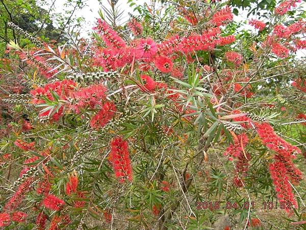 DSCN2925紅瓶刷子樹.JPG