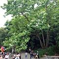 指標桐花樹.jpg