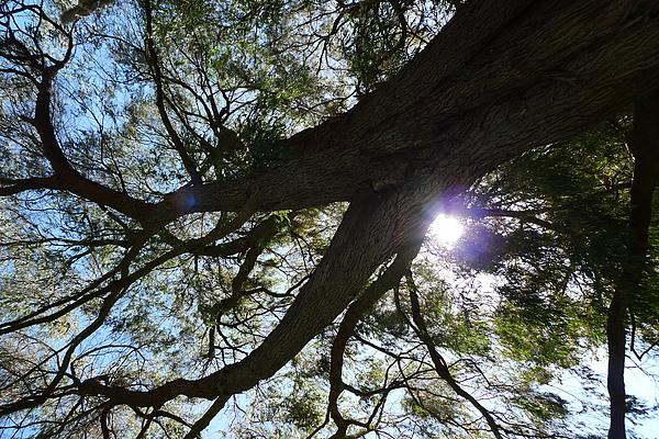 躺在草皮往上看,陽光灑在樹葉上好美.JPG