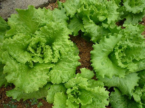04152011-Lettuce2.JPG