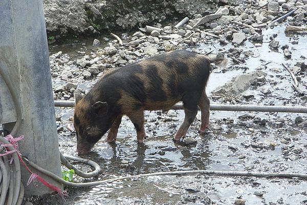 Hybrid piggy