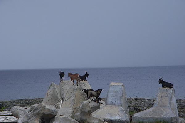 海邊悠哉的羊群